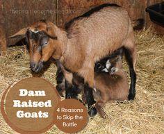 Dam-Raised Goats: 4 Reasons to Skip the Bottle