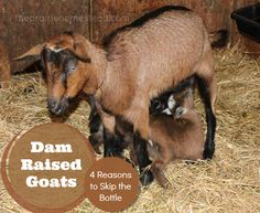 Dam Raised Goats: 4 Reasons to Skip the Bottle via The Prairie Homestead