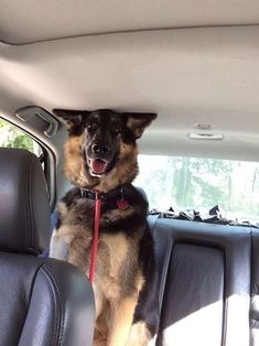 Too big for the back seat / Animals / Wallpy - Beautiful Pictures #dog #shepherd