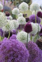 Buy premium allium bulbs from Unwins Online, leading UK supplier of ornamental flower seeds, alliums flower bulbs and garden supplies. Allium Flowers, Bulb Flowers, Dried Flowers, Partial Shade Flowers, Outside Plants, Spring Bulbs, Large Planters, Organic Fertilizer, Planting Bulbs