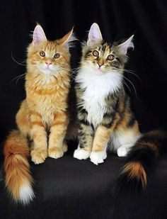 Maine Coons! The orange one looks like my Captain Puffy Pants.