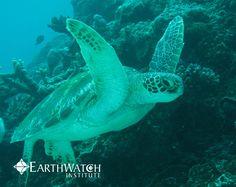 Dancing Sea Turtles found during Earthwatch Australia's PROJECT MANTA. ah I love sea life - PROTECT PROTECT PROTECT   #Sustainble #Eco #Environmental #Nature #Wanderlust #Travelbug #Wonderlust #Adventure #Nature #Lifestyle #Biophillia #Sustainability #Sustainableliving #Green #Greenliving #Travel #Ecofriendly #Explore #Australia #Animals #Agw #marine #marinelife #sea #sealife