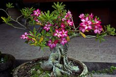 Desert Rose Bonsai. What's in a name? that which we call a rose By any other name would smell as sweet. - Shakespeare, Romeo and Juliet