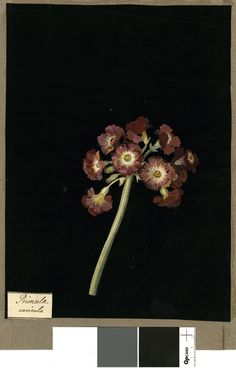 Primula Auricula var., from an album (Vol.VII, 98). 1779 Collage of coloured papers, with bodycolour and watercolour, on black ink background