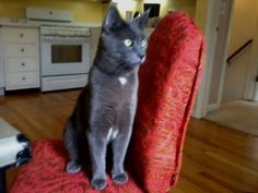 "Post a Lost Pet - Connecticut Humane Society Alicia M Lost short haired grey cat. ""Sketti""   Grey Cat, short haired, Male, 20 lbs, white marks on neck, armpits and pelvic area, green eyes, very healthy, no tags, domesticated, outdoor/indoor.   Name: Sketti   Last seen in Westport/Southport line on Friday 3/28/14.... Ran away due to moving. disoriented, lost, not familiar with this new area."