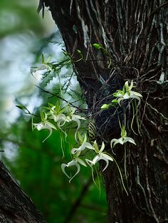 The ghost orchid (Dendrophylax lindenii) #orchidflowers #orchids