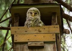 Ural Owl (Strix uralensis) juvenile at nest box. Photo by Davis Drazdovskis.