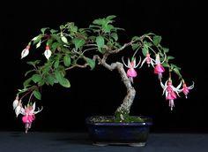 fuchsia bonsai | Deutschen Fuchsiengesellschaft e.V. Forum