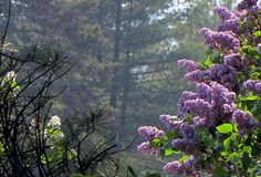 Lilacs in the mist Michigan:  Spring - page 3 l