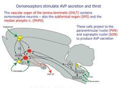 Ormoni ovarici e feedback n b il feedback degli for Mural granulosa cells