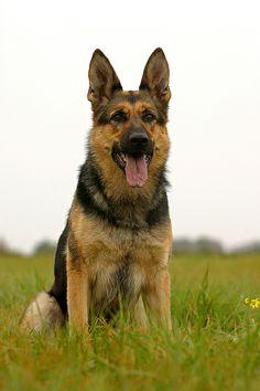 Deutscher Schaeferhund   Schöne Pictures unseren besten Freunden! Hier noch ein Tip: http://besteversicherungenonline.de/hundever