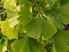 Fächerblattbaum - Ginkgo biloba - bekanntes, schönes Blattschmuckgehölz