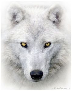 So Much like a Wolf Dog I just met the last few weeks!! Awooooo!
