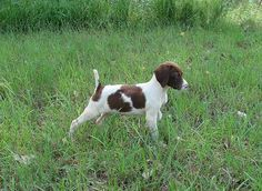 German Shorthaired Pointer puppy. Looks like Buttercup when she was a baby!