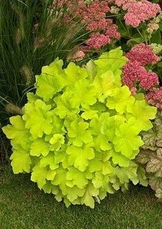 'Citronelle' coral bells (Heuchera 'Citronelle') - one of the best, brightest Heucheras for shade.