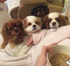 The world's cutest dogs! King Charles Cavalier Spaniels - official dogs of Nature's Sleep! #naturessleep #pets #cutest