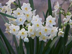 Flori care cresc fara pamant. Frumuseti fara pic de murdarie Narcissus Bulbs, Daffodil Bulbs, Daffodils, Narcissus Flower, Garden Bulbs, Planting Bulbs, Garden Plants, Winter Flowers, Flowers Nature