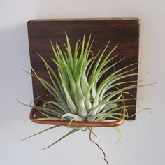 Displaying air plants in style!