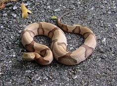 Copperhead. A Pit Viper with a nasty, serious bite.