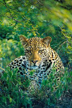 Leopard safari-partners