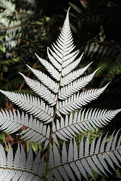 Underside of Silver Fern ponga. This unique New Zealand fern became an icon on NZ butter, cheese, tobacco and the railcar on the Main Trunk Line between Auckland and Wellington. NZ was once known as Fernland.