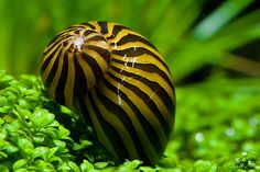 Zebra Nerite Snail. Seriously, best algae eater you could possible get for a freshwater aquarium. Way better then most pleco species. I have 5 and they keep my glass spotless in my 75 gallon.