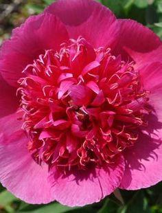 Peony officinalis 'Anemoniflora Rosea'
