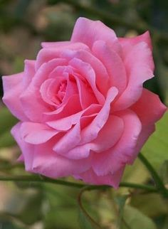 The right varieties to compliment and accent the home's style and your vision, will contribute to the success of your landscape and ultimate rose garden design. Beautiful Rose Flowers, Pretty Roses, Love Rose, Flowers Nature, Amazing Flowers, Beautiful Gardens, Beautiful Flowers, Purple Roses, Pink Flowers