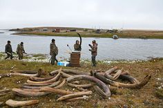 On the shore of northern Siberia's Lake Bustakh, at the end of summer, Yakutiyan men weigh and measure their haul. Brokers in the village of kazachye, buy the tusks from the hunters at prices ranging from 50 USD to 250 USD per pound National Geographic Images, Siberia, Prehistoric Wildlife, Arctic Circle, End Of Summer, Places To Travel, Remote, Creatures, Journey