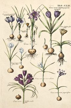 Crocuses. From Viridarium Reformatum, seu Regnum Vegetabile: Krauter Buch (Newly Revised Garden of the Plant Kingdom: Herb Book), 1719 by Michael Bernhard Valentini. (1657-1729).