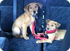 Doylestown, PA - Labrador Retriever/Hound (Unknown Type) Mix. Meet Linc, a puppy for adoption. http://www.adoptapet.com/pet/12617605-doylestown-pennsylvania-labrador-retriever-mix