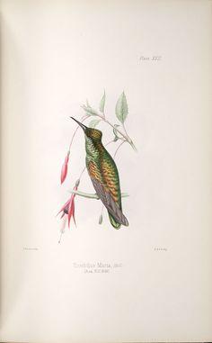 Hummingbird,  Image number:SIL33-140-01