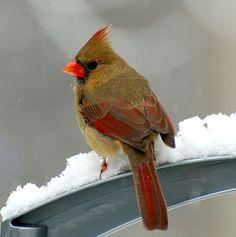 Northern Cardinal Identification, All About Birds, Cornell Lab of Ornithology Pretty Birds, Beautiful Birds, Love Birds, Animals Beautiful, Beautiful Creatures, Birds 2, Wild Birds, Northern Cardinal, State Birds