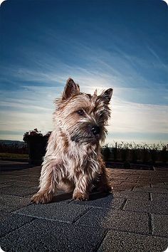 cairn terrier, so cute
