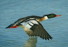 """Red-breasted merganser. Merganser birds are fish-feeding ducks have serrated edges to their bills to help them grip their prey; they are therefore often known as """"sawbills"""". In addition to fish, they take a wide range of other aquatic prey, such as molluscs, crustaceans, worms, insect larvae, and amphibians; more rarely, small mammals and birds.  When not diving for food, they are usually seen swimming on the water surface, or resting on rocks in midstream."""