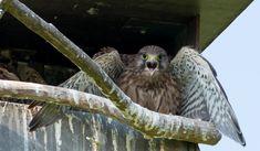 Het ooievaarsnest is niet bewoond, maar de nestkast voor de torenvalken wel. Vier jongen.