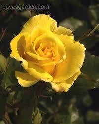 Image result for friesia floribunda rose