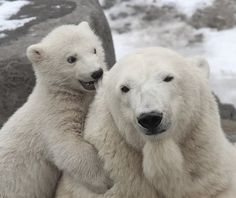 Polar Bears, resilience!