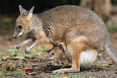 Mother and joey Red-legged Pademelon
