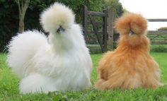 """As sedosas, também conhecidas como """"galinhas silkie"""", são de uma raça com plumagem macia atípica, parecida com seda – daí a denominação """"galinha sedosa"""", ou """"silkie"""", em inglês."""