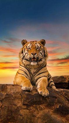 Wildlife Wallpaper, Tiger Wallpaper, Nature Animals, Animals And Pets, Cute Animals, Big Cats, Cool Cats, Beautiful Cats, Animals Beautiful