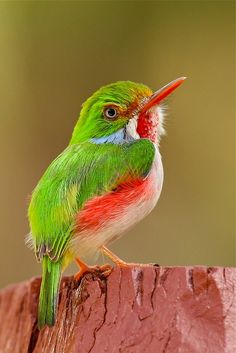 Cuban Tody (Todus multicolor) The species is characterized by small size, large head relative to body size, and a thin, pointed bill. The Cuban Tody is a year-round resident of portions of Cuba and islands just off the Cuban coast.