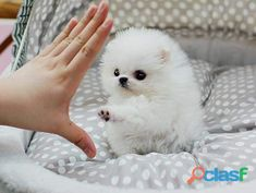 Animals - Outstanding Teacup Pomeranian Puppies for adoption . Outstanding Teacup Pomeranian Puppies for adoption . Tiny Puppies, Cute Little Puppies, Cute Little Animals, Cute Funny Animals, Cute Puppies, Cute Dogs, Micro Teacup Pomeranian, White Pomeranian, Teacup Puppies