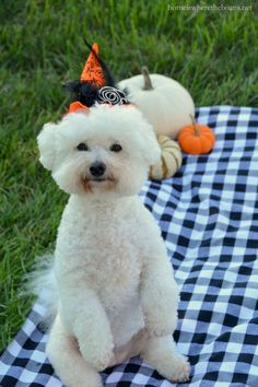 What a little cutie she needs all the pumpkin treats Best Puppies, Cute Puppies, Cute Dogs, Dogs And Puppies, Doggies, Animals And Pets, Cute Animals, Shih Tzu, Training Your Puppy