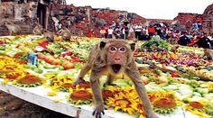 """MAYMUN SOFRASI - TAYLANDHer yıl Kasım ayının son pazar günü, Bangkok'un kuzeyindeki Lopburi bölgesinde yaşayan 2 bin maymun  devasa bir açık büfe kuruluyor. Etkinlik aslen, """"Maymunlara Açık Büfe Festivali"""" olarak anılıyor. Etkinliğin çıkış noktası eski bir efsane. Rivayete göre Maymun Kral zor bir durumdayken Ramayana'nın kahramanı Prens Rama'ya (Vishnu'nun reenkarnesi) yardım etmiş.Taylandlılar da bu efsaneden yola çıkarak Maymun Kral'ın soyuna şükranlarını sunuyorlar."""