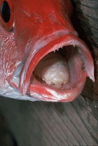 Tongue-eating fish parasites never cease to amaze