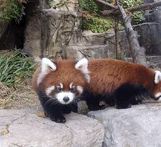 Adorable Red Panda Cub Siblings Make Public Debut At Chicago Zoo