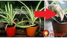 Pred rokmi mu ju poradila mama a som je dodnes vďačná: Táto rastlina by mala byť v každom dome, lieči a netreba sa jej ani dotknúť! Chlorophytum, Plants, Plant, Planets