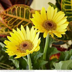Get gerberas from seed | Save seeds and save money! We'll show you how to start your own gerbera daisies with last year's seeds.