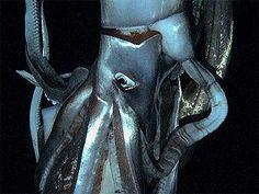 7 gennaio 2013. El calamar gigante, de 3 metros de largo, ha sido grabado a una profundidad de 630 metros al este de la isla nipona de Chichijima.